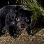 Prawdziwa historia diabła tasmańskiego