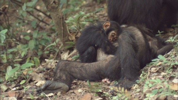 MISJA: CZŁOWIEKOWATE. CZY NASZYCH KREWNYCH CZEKA ZAGŁADA? LIFESTYLE, Film - Młoda biolog Holly Carroll wyrusza na Borneo, Sumatrę i do Afryki Środkowej, by wstrząsnąć sumieniem świata, pokazując zagrożonych zagładą naszych najbliższych krewnych w wśród zwierząt. To nie historia, to dzieje się dziś!